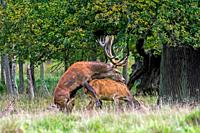 Red deer (Cervus elaphus) stag mounting doe / female in heat in forest during the rut in autumn / fall