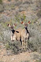 Greater Kudu, Karoo National Park.