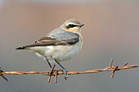 Northern Wheatear or Wheatear - Oenanthe oenanthe, Crete
