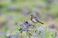 Woodlark or Wood Lark - Lullula arborea, Crete