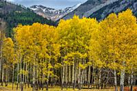 Fall Aspen on Bow Valley Parkway Banff National Park Alberta Canada.