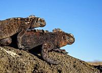 Marine iguanas (Amblyrhynchus cristatus), San Cristobal or Chatham Island, Galapagos, Ecuador.