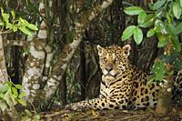 Jaguar (Panthera onca), blind in one eye, in the Pantanal region, Mato Grosso, Brazil.