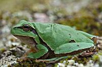 European tree frog (Hyla arborea), Extremadura, Spain.