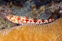 Redmarbled Lizardfish, Synodus rubromarmoratus. Uepi, Solomon Islands. Solomon Sea, Pacific Ocean.