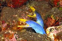 Two Blue Ribbon Eels, Rhinomuraena quaesita, sharing the same burrow. Tulamben, Bali, Indonesia. Bali Sea, Indian Ocean.