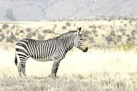 Mountain Zebra (Equus zebra) standing in grassland, Mountain Zebra National Park, South Africa.