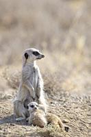 Meerkats (Suricata suricatta) adult and two juveniles, watching around, Mountain Zebra National Park, South Africa.