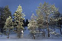 Snowcovered forest with snowfall during polar night, Balsfjord, Norway.