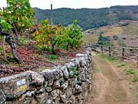 Track across the ´Mencía´ variety vineyards in autumn, and Belesar in background, Chantada municipality, Ribeira Sacra, Lugo, Spain