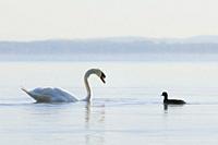 Mute Swan and coot, Switzerland.