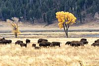Fall in the Lamar Valley of Yellowstone National Park, Wyoming, USA.