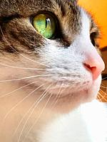Tabby and white cat. Close view.