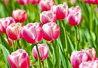 Flower Bed of Red Tulips at Blossom in Spring.