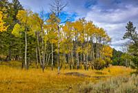 Fall Aspen above Mammoth Hot Springs in Yellowstone National Park, Montana, USA.
