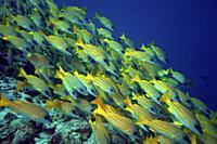 School of Bluestripe Snapper (Lutjanus kasmira), Indian Ocean, Maledives, South Asia.