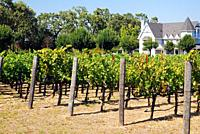 A vineyard in the Napa Valley.