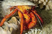 White-spotted Hermit Crab (Dardanus megistos) in shell, Tasi Tolu dive site, Dili, East Timor (Timor Leste).