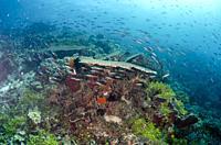 School of red form of Bluestreak Fusiliers (Pterocaesio tile), Green Buoy dive site, Atauro Island, East Timor (Timor Leste).
