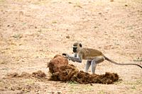 Vervet monkey (Cercopithecus aethiops) foraging for seeds to eat in elephant dung, South Luangwa National Park, Zambia.