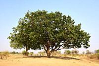 Wild mango tree (Cordyla africana) South Luangwa National Park, Zambia.