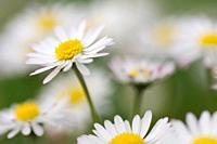 Daisy (Bellis perennis. Bavaria, Germany.