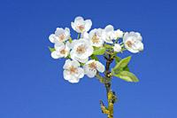 Pear Tree (Pyrus communis) brach with blossoms against clear blue sky. Bavaria, Germany, Europe.