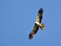 Booted eagle (Aquila pennata), Greece