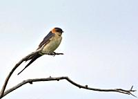 Red-rumped Swallow (Hirundo daurica), Greece