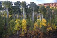 Fall colors have arrived to Kolob Terrace adjacent to Zion National Park, Utah.