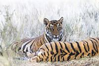 South Africa, Private reserve, Asian (Bengal) Tiger (Panthera tigris tigris), mother and young 6 months old, resting.