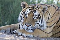 South Africa, Private reserve, Asian (Bengal) Tiger (Panthera tigris tigris), resting.