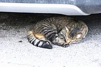 Stripy, tortoiseshell cat with ginger undertones curled up asleep on the grey tarmac underneath a car bumper in L'Isle-sur-la-Sorgue, Vaucluse, Proven...