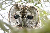 Strix aluco,Tawny Owl,Carabo,Strigiformes,head,Miranda de Azan, Salamanca, Spain.