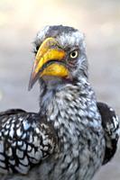 Southern Yellow-billed Hornbill (Tockus leucomelas), Moremi Game Reserve, Okavango delta, Botswana.