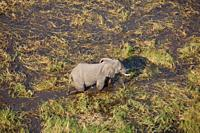 African Elephant (Loxodonta africana), roaming in a freshwater marsh, aerial view, Okavango Delta, Botswana. . The Okavango Delta is home to a rich ar...