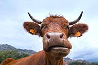 Cows in the Dehesa de Colmenarejo, La Pedriza de Manzanares, Sierra de Guadarrama National Park, Manzanares el Real, Madrid, Spain, Europe.