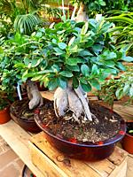 Ficus Ginseng Bonsai Tree (Ficus retusa) in a Garden Center. Ginseng ficus bonsai trees are very hardy and easy to take care of. Many beginning bonsai...