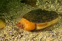 Narrow otter shell (Lutraria angustior). Eastern Atlantic. Galicia. Spain. Europe.