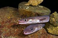 Deep sea. Conger eel. Juvenile conger. (Conger conger). Eastern Atlantic. Galicia. Spain. Europe.