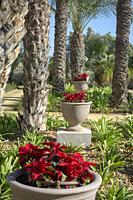 Poinsettias outside of El Cason at Hacienda Riquelme Golf Resort.