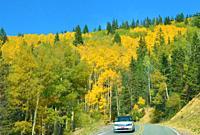 Aspens turning golden, Santa Fe National Forest, New Mexico.