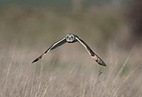 Short-eared Owl-Asio flammeus hunting. Winter. Uk.