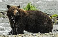 Female Grizzley Standing in water Katmai National Park.