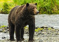 Grizzly female emerging from water Katmai National Park.