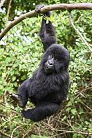 Mountain gorilla (Gorilla beringei) young baby - 2 year old - hanging from branch, member of the Nyakagezi group, Mgahinga National Park, Uganda.
