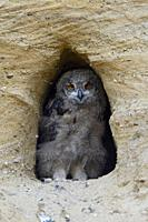Eurasian Eagle Owl ( Bubo bubo ), chick, standing in the entrance of its nest burrow, looks cute, wildlife, Europe.