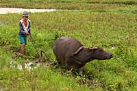 A farmer works the field with the help of his ox near Carmen. Bohol. Philippines. Filipino farmerbreaking up ploughed field by satanding on a small pr...