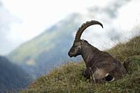 Alpine Ibex / Alpensteinbock ( Capra ibex ) resting in grass, ruminating, surrounded by wild high mountains range, Swiss alps. .