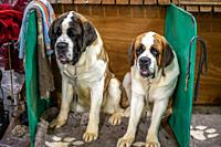 Two St. Bernard (Canis lupus familiaris) dogs sit together in pen at dog show, Edinburgh, Scotland.